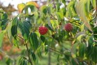 Chinesischer Blumen-Hartriegel Wietings Selektion • Cornus kousa chinensis Wietings Selektion