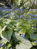 Kaukasusvergissmeinnicht • Brunnera macrophylla