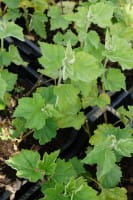 Halbstrauchige Stockrose Parkfrieden• Alcalthaea suffrutescens Parkfrieden