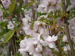 Japanische Säulenkirsche Amanogawa • Prunus serrulata Amanogawa