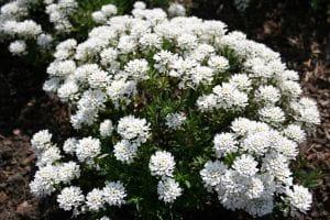 Garten-Schleifenblume Fischbeck • Iberis sempervirens Fischbeck