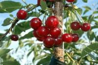 Sauerkirsche Morina • Prunus cerasus Morina