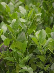 Kirschlorbeer Mano • Prunus laurocerasus Mano