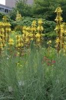 Mediterane Junkerlilie • Asphodeline lutea