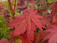 Japanischer Ahorn Vitifolium • Acer japonicum Vitifolium