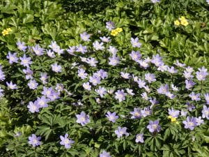 Balkan-Windröschen - Anemone blanda Blue Shades