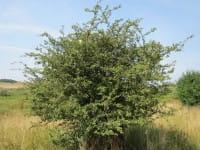 Zweigriffliger Weißdorn • Crataegus laevigata