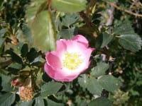 Meneerke bloem [CC BY-SA (https://creativecommons.org/licenses/by-sa/3.0)]