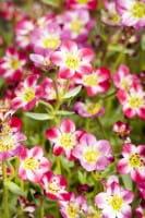Garten-Moos-Steinbrech • Saxifraga Arendsii