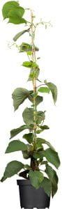 Kiwi Solo • Actinidia chinensis Solo