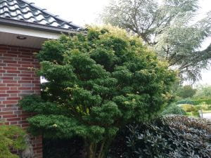 Fächerahorn Sharps Pygmy • Acer palmatum Sharps Pygmy