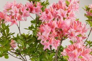Sommergrüne Azalee Soir de Paris • Rhododendron luteum Soir de Paris