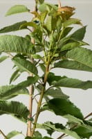 Süßkirsche Sunburst • Prunus avium Sunburst