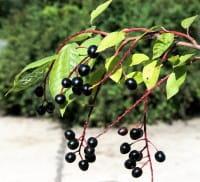 Traubenkirsche • Prunus padus