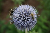 Veitchs-Garten-Kugeldistel • Echinops ritro Veitchs Blue