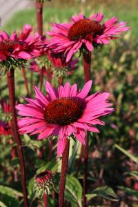 Garten-Scheinsonnenhut • Echinacea purpurea Fatal Attraction