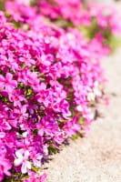 Garten-Teppich-Flammenblume Crackerjack • Phlox douglasii Crackerjack