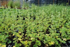 Garten-Busch-Malve Frederique • Lavatera x olbia Frederique
