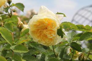 Rose The Pilgrim • Rosa The Pilgrim