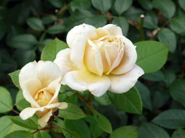 Beetrose 'Lions-Rose' ® - Rosa 'Lions-Rose' ®