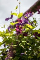 Waldrebe Rubra • Clematis viticella Rubra