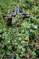 Brunnenkresse - Nasturtium officinale