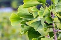 Säulen-Fächerblattbaum Tremonia • Ginkgo biloba Tremonia
