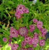 Garten Sterndolde Rubra • Astrantia major Rubra