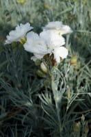 Feder Nelke Haytor White - Dianthus plumarius Haytor White