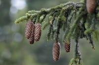 Fichte • Picea abies