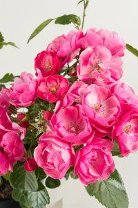 Rose Angela ® • Rosa Angela ®