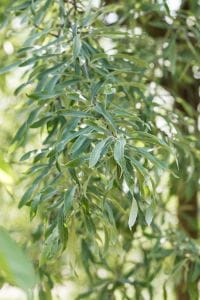 Hängende Wildbirne • Pyrus salicifolia Pendula