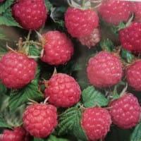 Himbeere Rubaca® • Rubus idaeus Rubaca