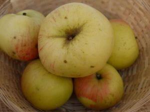 Apfel Dülmener Herbstrosenapfel • Malus Dülmener Herbstrosenapfel