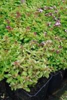 Garten-Dost Compactum • Origanum vulgare Compactum