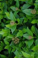 Lorbeer-Schneeball - Viburnum tinus