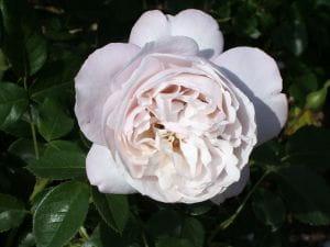 Rose Herkules ® • Rosa Herkules ®