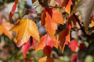 Rotahorn Sun Valley • Acer rubrum Sun Valley