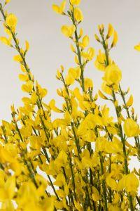 Gelb blühender Elfenbein-Ginster • Cytisus praecox Allgold