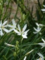 Astlose Graslilie • Anthericum liliago