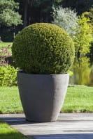 Buchsbaum, als Kugel • Buxus sempervirens Arborescens Kugel