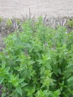 Ährige-Minze • Mentha spicata