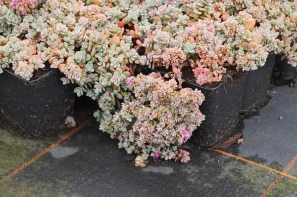 Blaugraues Garten-Fettblatt • Sedum cyaneum Rosenteppich