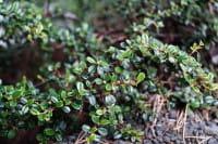 Kleinblättrige Teppichmispel • Cotoneaster microphyllus