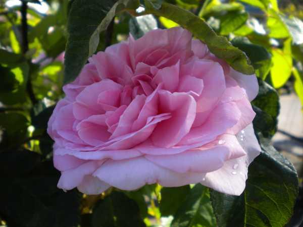Englische Rose Gertrude Jekyll • Rosa Gertrude jekyll