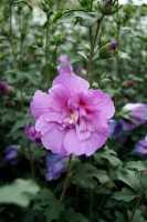 Rosen-Eibisch Lavender Chiffon® • Hibiscus syriacus Lavender Chiffon