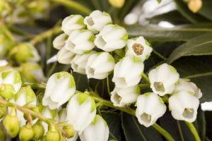 Japanische Lavendelheide • Pieris japonica Sarabande