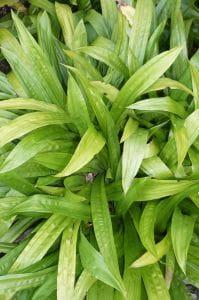 Breitblattsegge • Carex Plantaginea