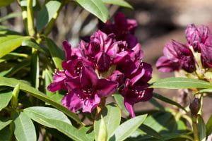 Rhododendron Polarnacht • Rhododendron Hybride Polarnacht