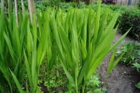 Garten-Monbretie Lucifer • Crocosmia x crocosmiiflora Lucifer